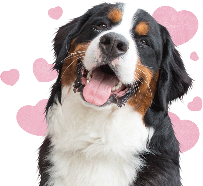 bernese mountain dog with pink cartoon hearts