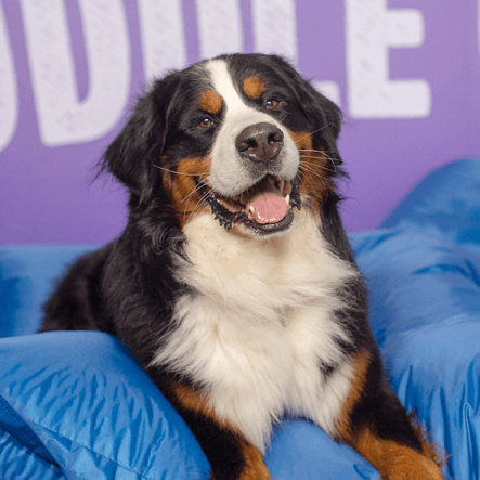 a smiling bernese mountain dog
